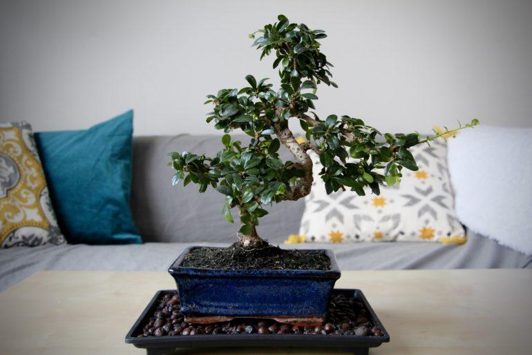 entretenir son premier bonsai